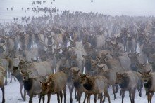 Winter Herd - Elk