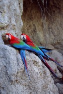 Treasure of the Amazon - Macaws