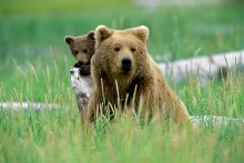 Peek-a-Boo - Brown Bears