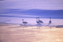 The Big Freeze - Trumpeter Swans