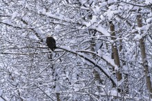 December Snows - Bald Eagle
