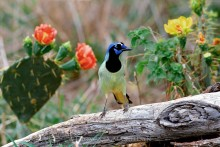 Texas Beauties - Green Jay and Prickly Pears