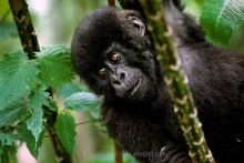 Forest Treasure - Mountain Gorilla