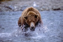 Rushing the Shallows - Brown Bear