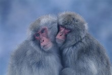 Two's Company - Snow Monkeys