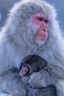 Mother's Love - Snow Monkeys