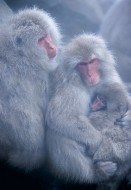 Circle of Love - Snow Monkeys