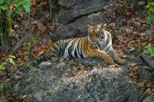 Indian Princess - Bengal Tiger