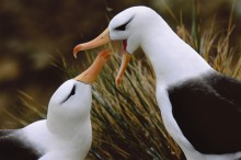 The Mating Game - Black-browed Albatross