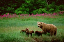 Ring of Fire - Fireweed and Brown Bears