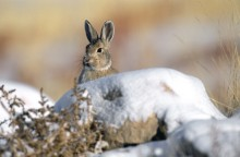 What's Up? - Mountain Cottontail
