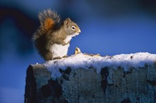Winter's Cache - Red Squirrel