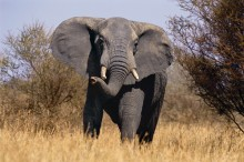 Friend or Foe? - African Elephant