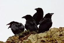 Young and Restless Ravens