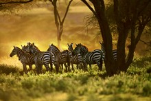 Under the Acacias - Zebras