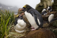 Rookery above the Bay - Macaroni Penguins