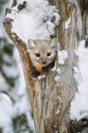 Snowy Hollow - Pine Marten