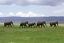 Elephants at Ngorongoro