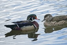 Spring Suitor - Wood Ducks