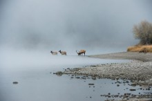 Misty Morning Crossing - Elk
