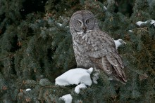 Winter's Perch - Great Gray Owl