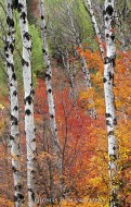 Fire Among the Aspens