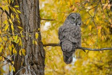 Autumn Gold - Great Gray Owl