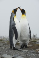 A Polar Promise - King Penguins
