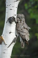 Eyes of the Aspens - Great Gray Owl