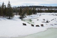 Buffalo Fork Crossing - Grizzly Bears