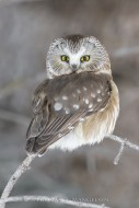 Spotted Bandit - Northern Saw-whet Owl