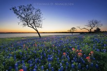 Evening Glow - Bluebonnets and Paintbrush