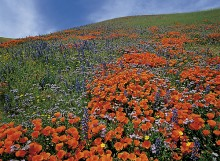 Field of Dreams - Poppies and Lupine