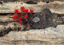 Fire and Sandstone - Indian Paintbrush