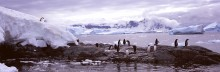 Antarctic Slide - Gentoo Penguins
