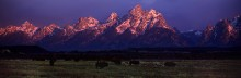 Teton Rose - Bison