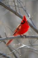 Winter's Ornament - Northern Cardinal