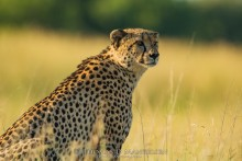 Portrait of a Cheetah | Saving the Wild Collection