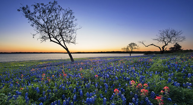 Evening Glow Bluebonnets and Paintbrush