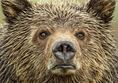Eyes of the Grizzly