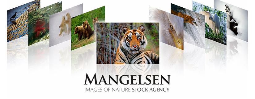 MANGELSEN Stock Agency