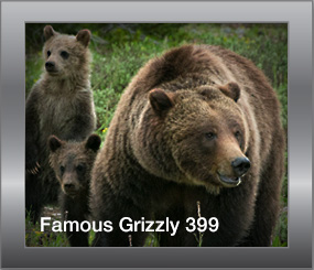 Famous Grizzly 399