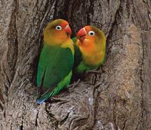Lovebird | Flycatcher