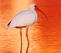 Wading Bird | Shorebird