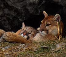 Bobcat | Cougar | Lynx