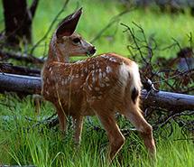 Deer | Pronghorn