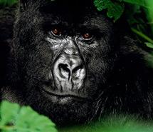 Gorilla | Chimpanzee