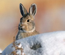Rabbit | Pika