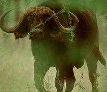 Rhino | Cape Buffalo