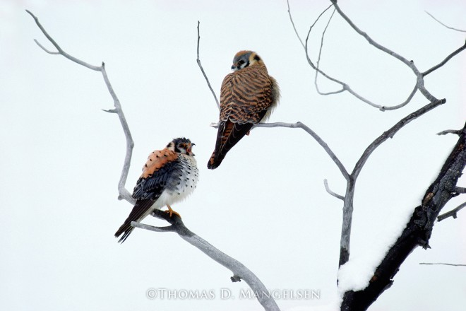 American Kestrels | Legacy Reserve Collection